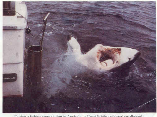 Tiger shark attack victim - photo#20